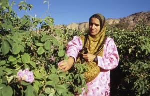 Geo trandafiri Oman